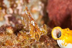 BD-161025-Reta-2674-Taenianotus-triacanthus.-Lacepède.-1802-[Leaf-scorpionfish].jpg